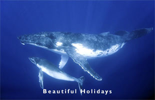 humpback whale and calf in the lagoon of Vavaur